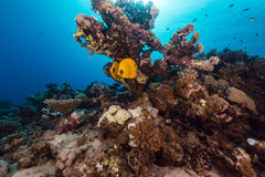 Butterflyfish and tropical reef in the Red Sea. Stock Photos