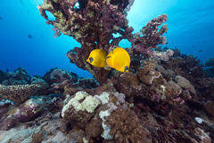 Butterflyfish and tropical reef in the Red Sea. Stock Photo