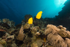 Butterflyfish and tropical reef in the Red Sea. Royalty Free Stock Photo