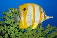butterflyfish tropikalne ryby Zdjęcia Royalty Free