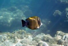 Butterflyfish Royalty Free Stock Photo