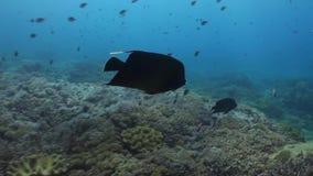Butterflyfish y angelotes que nadan en un filón almacen de metraje de vídeo