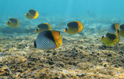 Butterflyfishes. Treadfin butterflyfishes in red sea - Egypt Royalty Free Stock Images