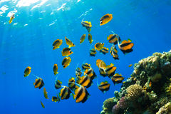 Butterflyfishes Royalty Free Stock Photography