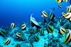 Butterflyfishes Stock Photography
