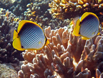 Butterflyfishes. Black- back butterflyfishes (Chaetodon mellanotus Stock Photo