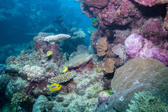 Butterflyfishes e corais Fotos de Stock Royalty Free