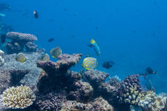 Butterflyfishes e coral Imagem de Stock Royalty Free