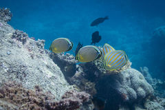 Butterflyfishes e coral Foto de Stock