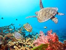 Butterflyfishes und Schildkröte Stockfotos
