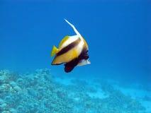 butterflyfishkorallrulle Arkivbilder