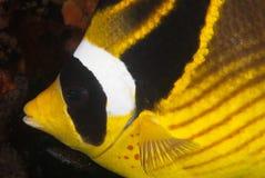 butterflyfishprofil Royaltyfria Bilder