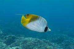butterflyfishthreadfin Royaltyfri Foto