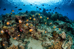 Butterflyish on the reef. School of Butterflyfish and other tropical fish on a coral reef royalty free stock photos