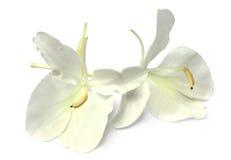 Butterflylily of bloem Dolanchapa van Zuidoosten zoals Stock Afbeelding