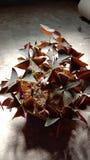 Butterflyplant arkivfoton