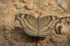 Butterflys в Таиланде Стоковое Изображение RF