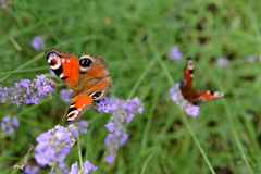 Butterflys на лаванде Стоковые Фото