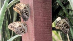 Butterflys archivi video