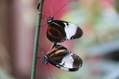 butterflys copulating Стоковая Фотография
