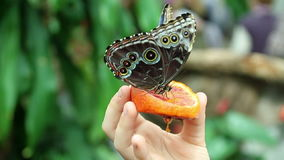 Butterflys eating. Close up of a butterfly eating orange fruit that woman is holding for it stock video