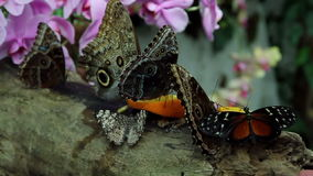 Butterflys eating. Close up of a butterflys eating orange fruit stock video