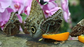 Butterflys eating. Close up of a several butterflys eating pieces orange fruit stock video footage