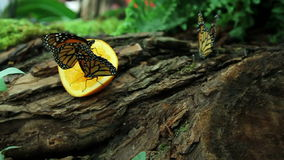 Butterflys eating. Colorful butterflys eatinf orange fruit placed for them in garden stock video