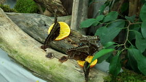 Butterflys eating. Several butterflys eating piece of orange fruit stock footage