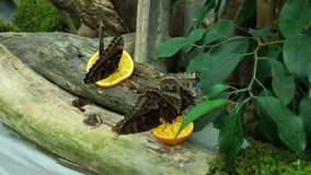 Butterflys eating. Shot of beautiful butterlfys eating pieces of orange fruit stock video