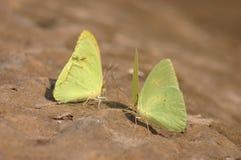 Butterflys giallo Fotografia Stock
