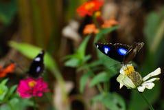 2 Butterflys i trädgård på blommor royaltyfri foto