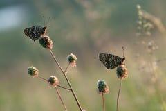 Butterflys Melita in autunno attende l'alba fra i fiori della foresta nel prato fotografia stock libera da diritti