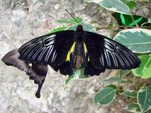 Butterflys negros hermosos sobre una piedra Imágenes de archivo libres de regalías