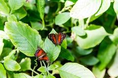 Butterflys preto e vermelho no verde Fotografia de Stock Royalty Free