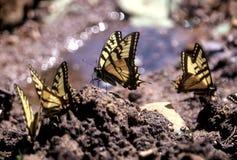 Butterflys som får en drink arkivfoton