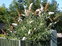 Butterflys su un albero di Buddleja Immagini Stock
