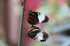 butterflys target1300_1_ Fotografia Stock