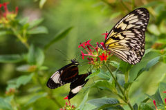 Butterflys. Three beautiful butterflies sitting on a flower Royalty Free Stock Image
