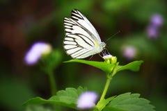 Butterfry Стоковые Изображения