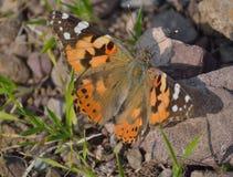 Butterfully στις άγρια περιοχές Στοκ φωτογραφία με δικαίωμα ελεύθερης χρήσης