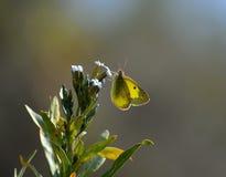 Butterfully na dzikim kwiacie Zdjęcia Royalty Free