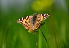 Butterfully på den senapsgula blomman Royaltyfri Bild