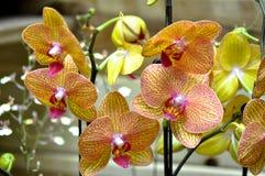 Butterfuly orchidées polychromes Photo libre de droits