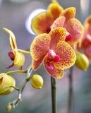 Butterfuly orchidées polychromes Photos libres de droits