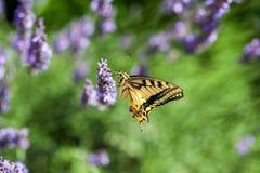 Butterfy στο ιώδες λουλούδι στοκ εικόνες με δικαίωμα ελεύθερης χρήσης