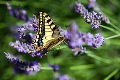 Butterfy στο ιώδες λουλούδι στοκ εικόνες