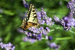 Butterfy στο ιώδες λουλούδι στοκ φωτογραφία