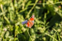 Butterfy на фиолетовом цветке Стоковая Фотография RF