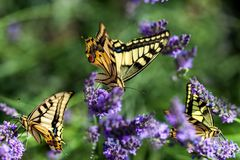 Butterfy auf violetter Blume Stockfoto